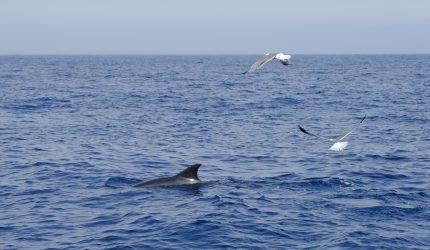 Cetáceos al sur de Tenerife | Foto: CABILDO DE TENERIFE