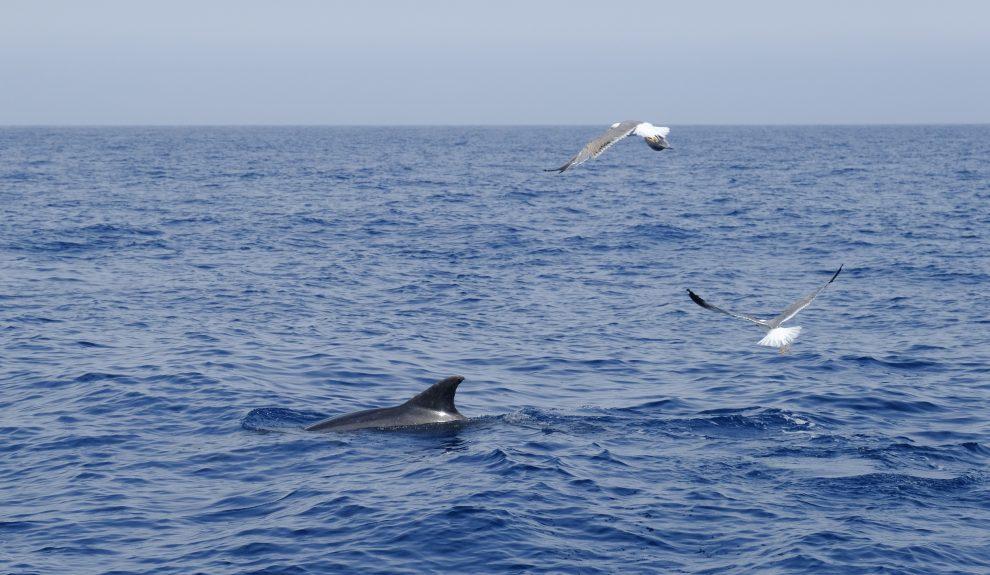 Cetáceos al sur de Tenerife   Foto: CABILDO DE TENERIFE