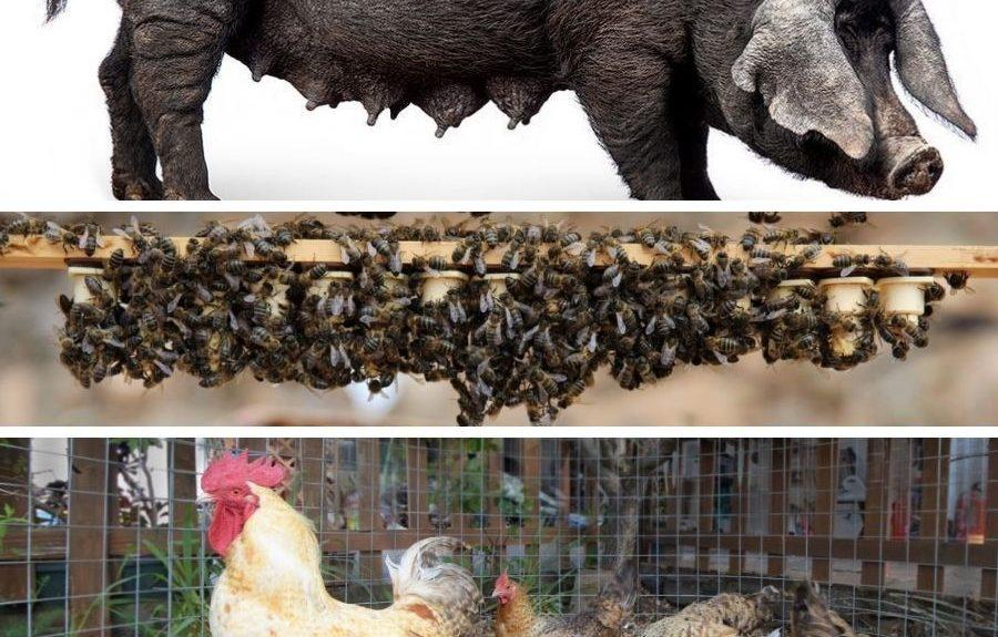 De arriba abajo, cochino negro canario, abeja negra canaria y gallina canaria   EL ESPEJO CANARIO