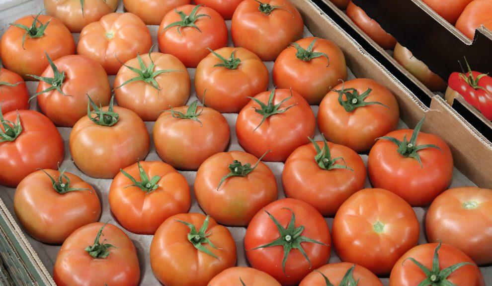 Tomates para la exportación | CONSEJERÍA DE AGRICULTURA DEL GOBIERNO DE CANARIAS