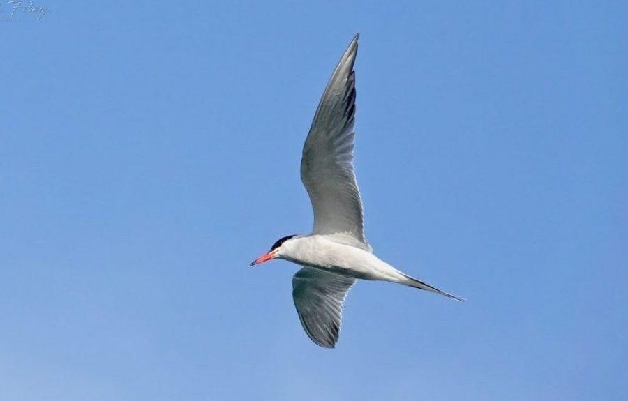 Charrán común en vuelo | ARCHIVO